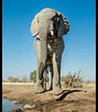 Elephant at Water Hole by Penny Ollard